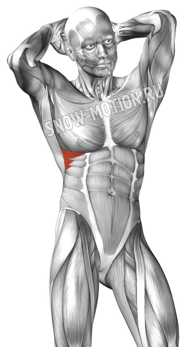 Передние зубчатые мышцы спины