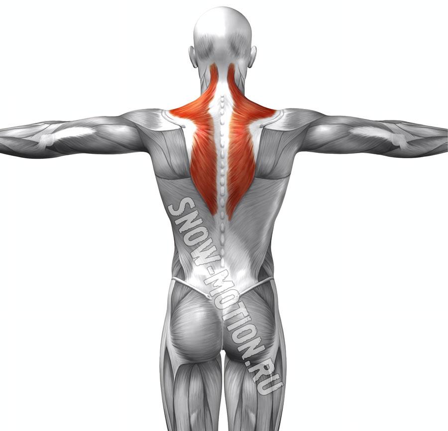 Трапециевидная мышца спины