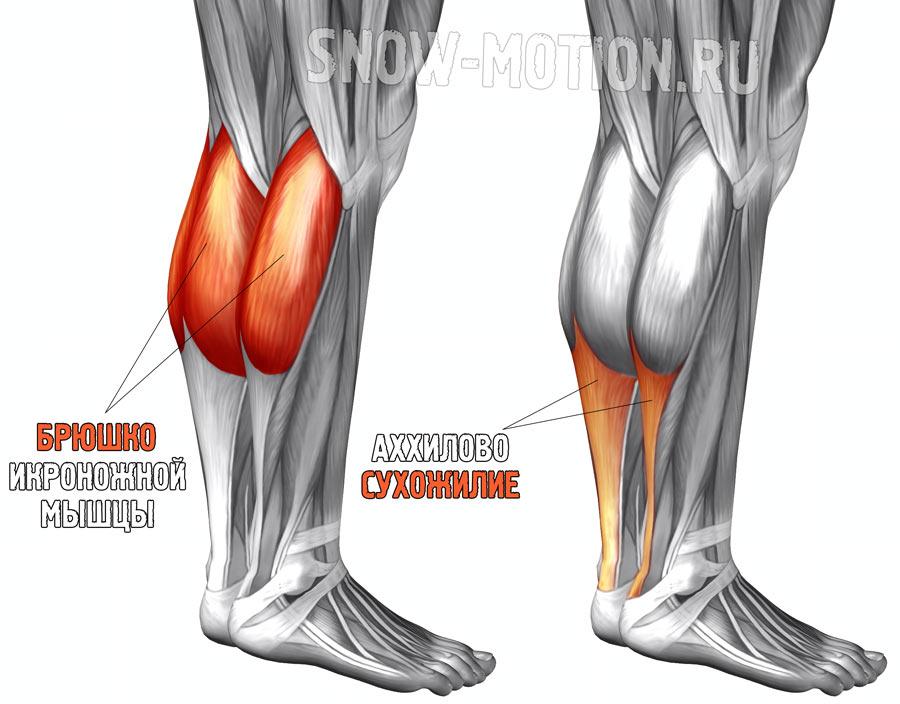 Мышцы человека: брюшко и сухожилие