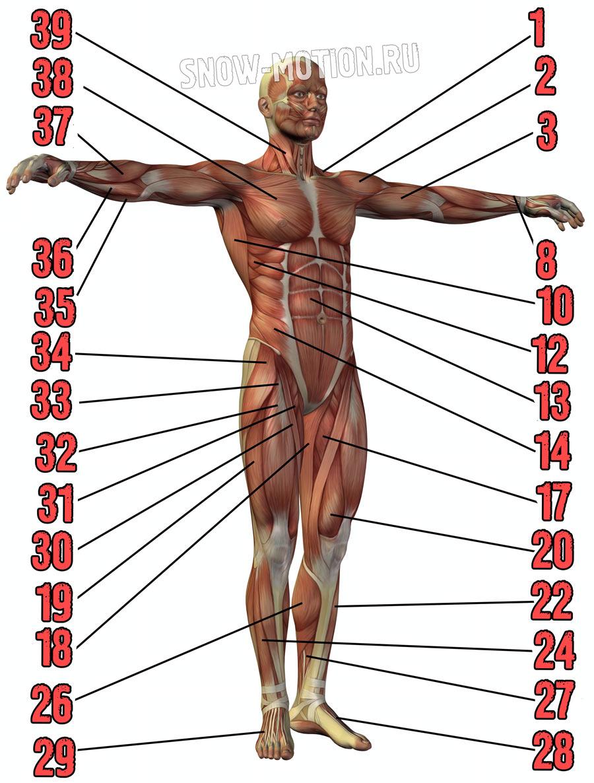 Мышцы человека спереди