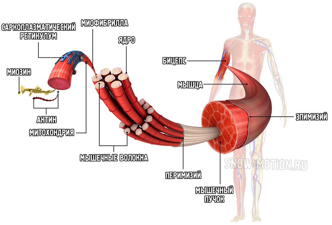 Структура мышечного волокна