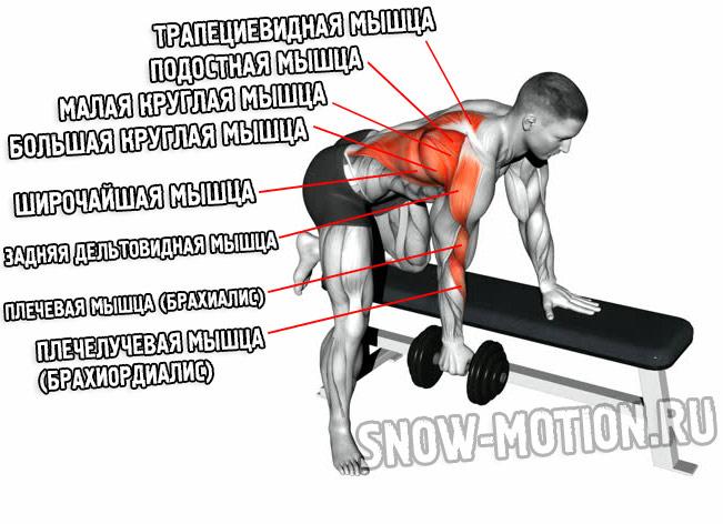 Мышцы, работающие при выполнении тяги гантели к поясу в наклоне